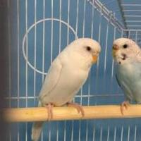 Parakeets with Cage for sale in Chaska MN by Garage Sale Showcase member pami1964, posted 10/07/2018