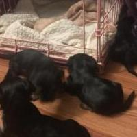 Yorkie pups 10 weeks for sale in Brandon MS by Garage Sale Showcase member Phylliswalker, posted 09/12/2019