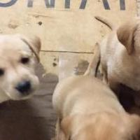 Lab puppies for sale in Thompson Falls MT by Garage Sale Showcase member Tuxedo1234, posted 11/23/2019