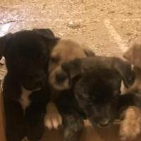 Puppies for sale in Burnett County WI by Garage Sale Showcase member RichardandMonica1$, posted 09/01/2019
