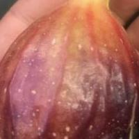 Rare GE Neri Italian Fig Tree w/ Huge Fruit! *Live and Rooted* for sale in Angleton TX by Garage Sale Showcase member Deep Earth Nursery, posted 04/28/2020